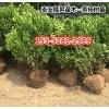 基地出售60公分-70公分、80公分丛生北海道黄杨