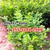 1.5米丛生北海道黄杨_1.8米北海道黄杨价格