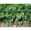 蓝莓苗批发蓝莓贵的不是价格,而是营养!