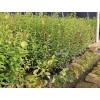 关于蓝莓苗批发的种植技术与知识