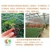 河南番茄苗优选安信种苗  用心培育 顾客放心