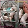 现代母猪产床价格复合板猪用产保一体床尺寸养猪设备厂家直销