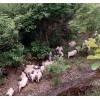 四川生态香猪代养 年猪代养 山里香猪 定制农业