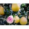 福建(红心)蜜柚苗