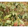 台湾(大青榄)橄榄苗
