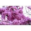 万森园林景观中国紫荆