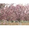 万森园林景观垂丝海棠