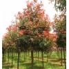 万森园林景观独杆红叶石楠