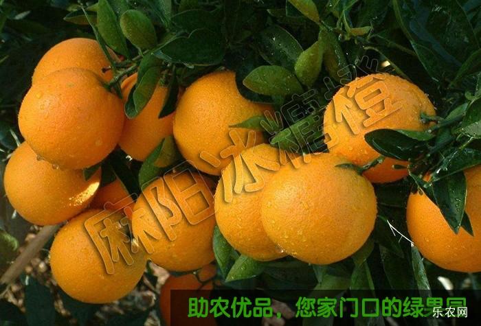冰糖橙代理价格