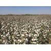 新疆优质棉花种子_棉花种子厂家_早熟高产棉花新品种