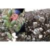 棉花高产品种排行榜_新疆高产棉花种子_守信种业