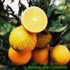 麻阳冰糖橙,好橙子一定会销量大增,躺家里赚钱