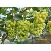 供应优质葡萄苗