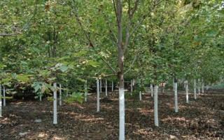 供应优质美国红枫树苗基地(10公分美国红枫树苗)