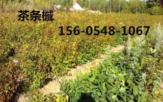 供应茶条槭苗 3年播种苗、优质茶条槭价格多少