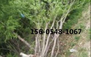 供应茶条槭米径40公分高度(规格齐全)