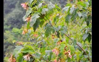 山东20-30-35-40公分茶条槭树苗基地