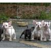 云南哪里卖的法斗好狗场常年卖法国斗牛犬