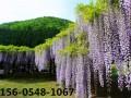 批发紫藤价格-哪里有卖紫藤树苗的
