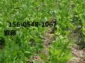 供应2.5公分紫藤价格(报价多少)