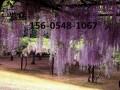 山东0.8公分-1公分紫藤价格多少