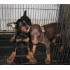 云南杜宾犬哪里的好狗场常年卖杜宾犬修耳朵