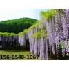 山东3公分紫藤多少钱一棵