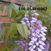 供应2公分-3公分优质紫藤基地