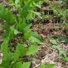 山东2公分3公分紫藤价格多少钱一棵