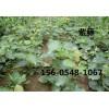 山东0.8公分紫藤1.5公分紫藤价格多少