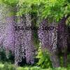 批发3公分紫藤树苗价格多少钱一棵