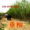 供应山东20公分25公分垂柳树苗价格