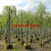 供应25公分-30公分垂柳树苗价格直销