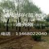 产地15公分-28公分垂柳树苗基地