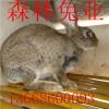 杂交野兔养殖基地,山东森林兔业大型野兔养殖场