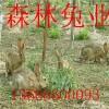 杂交野兔赚钱多的养殖业销路好