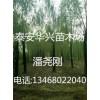 产地直销垂柳树苗基地(30公分垂柳价格多少)