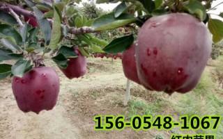 供应1公分2公分3公分红肉苹果树苗价格