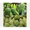 亚热带水果凤梨释迦的种植季节,现在种明年结果