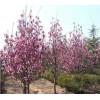 绿化苗木价格二乔玉兰 红叶石楠球 银杏树 七叶树 龟甲冬青球
