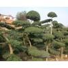 绿化花木价格 小叶女贞造型树 枇杷树 八角金盘 紫丁香 紫荆