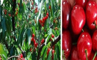  批发2公分3公分4公分樱桃苗多少钱一棵