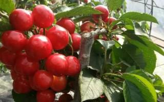 哪里有卖樱桃树苗的-樱桃树多少钱一棵