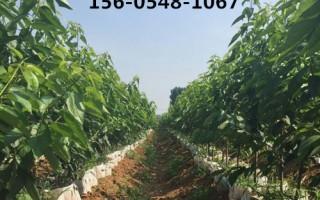 山东3公分4公分5公分黑珍珠樱桃树价格