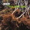供应3公分4公分5公分6公分樱桃树价格