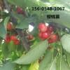 直销嫁接黑珍珠樱桃苗多少钱一棵