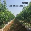 批发8公分9公分10公分樱桃苗多少钱一棵