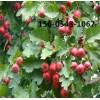 供应梨树苗-5公分6公分7公分梨树苗价格