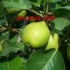 供应3公分4公分梨树苗报价多少钱一棵