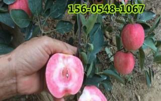 哪里有苹果树苗的-2公分红肉苹果苗价格多少